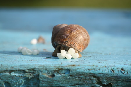 reproduce: Snail laying her eggs on a wooden surface outdoors. Snail reproduce.