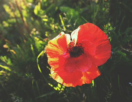 Beautiful poppy flower in the summer garden