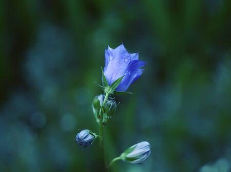 Blooming garden purple campanula flower Stock Photo