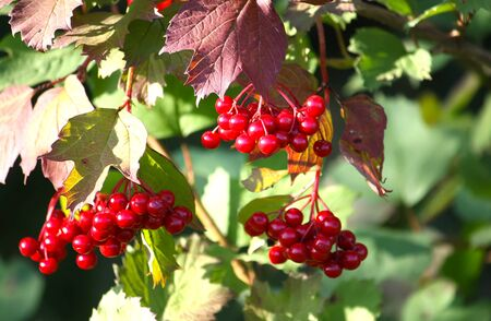 sorb: Viburnum red berries in sunlight close up