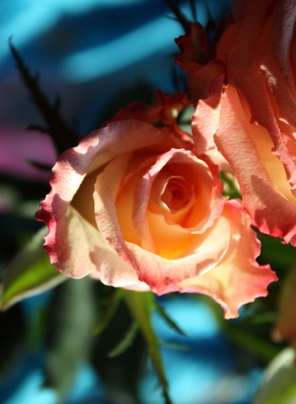 bourgeon: Beautiful rose flowers in sunlight close up Stock Photo