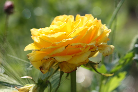 bourgeon: Rose flowers growing in the summer garden