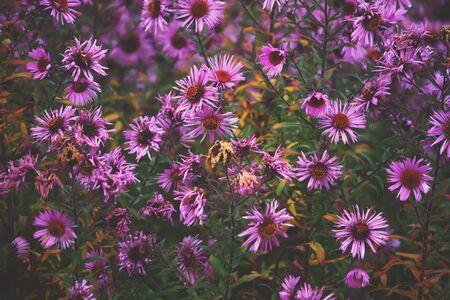 dahlia: Flores de otoño de aster en el jardín