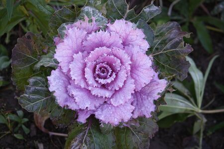 Purple ornamental decorative cabbage covered with a morning dew, selective focus
