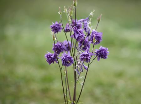 Blue flower of European columbine. Aquilegia vulgaris. Close up.