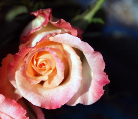 Beautiful rose flowers in sunlight close up Stock Photo