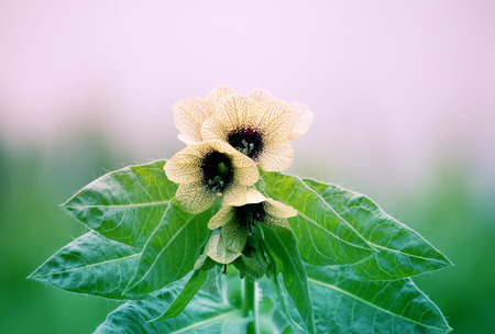 Black Henbane Hyoscyamus niger flowers. Vintage toned image. Stock Photo