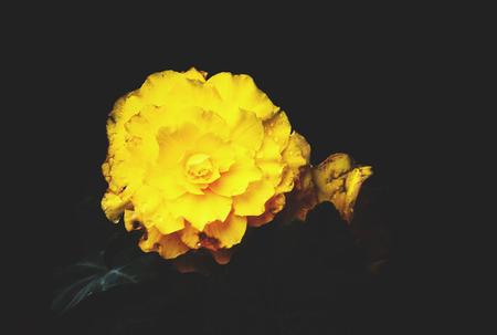 dode bladeren: Rose flowers growing in the summer garden