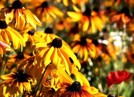 Flowers rudbeckia in the garden, close up