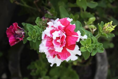 Bright decorative pink and white flower close up