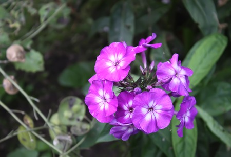 Garden phlox, perennial phlox flowers in the summer garden