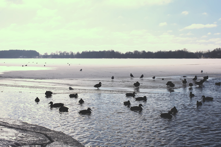 Wild ducks swimming on the river Daugava at winter in Riga, Latvia, East Europe. Stock Photo