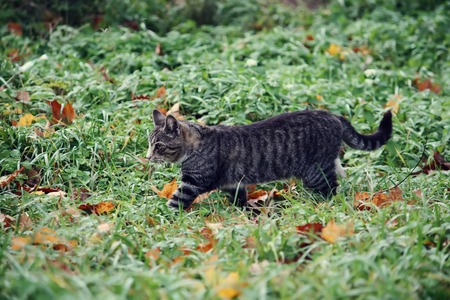 Grey striped cat on the green grass in the autumn park