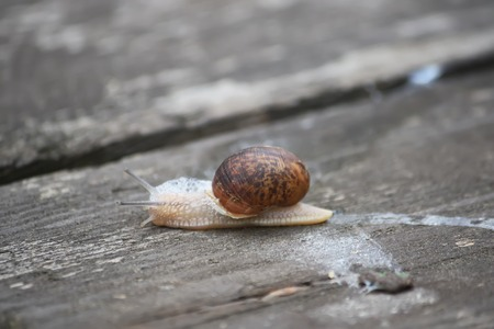 babosa: Snail crawling on a wooden surface in the sunlight