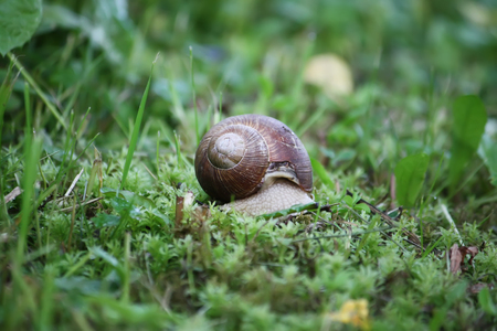 Snail in the garden crawling on green grass