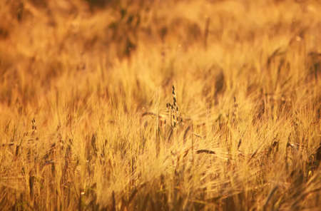 Wheat field with at summer in Latvia, East Europe.