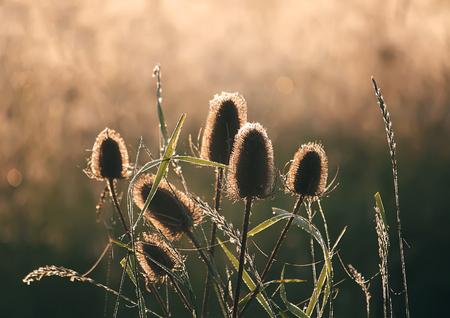Dipsacus fullonum or teasel plants at sunrise.
