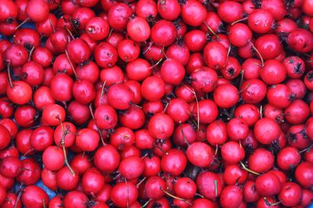 Red ripe berries of thornapple or crataegus, common hawthorn plant. Stock Photo
