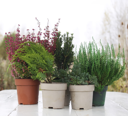 hotbed: Pots with young conifer plants on the wooden table outdoors. Stock Photo