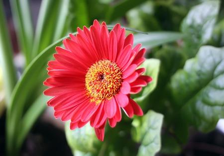 Red herbera flower close up