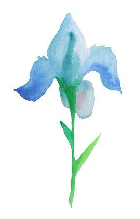 Watercolor blue iris flower. Hand painted illustration.