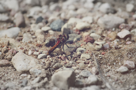 chaser: Dragonfly on the ground