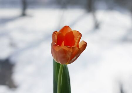 Beautiful tulip flower on window background at winter.
