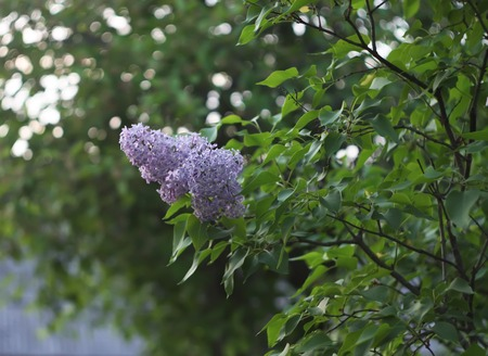 lillac: Purple lilac flowers outdoors in the sunlight