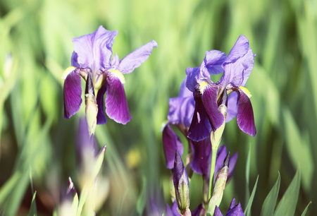 Bright blooming purple irises in the spring garden in sunlight. Stock Photo