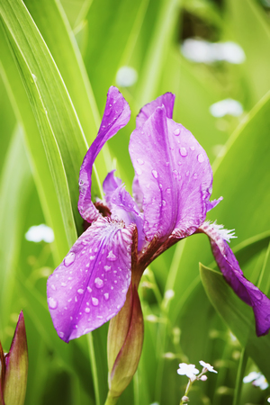 mauve: Bright blooming purple irises in the spring garden in sunlight. Stock Photo