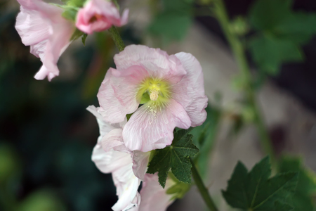 Pink mallow flowers in the garden at summer.