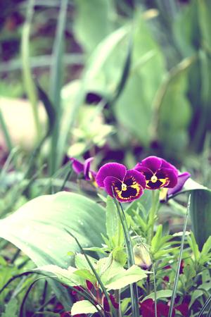Purple pancy flowers.
