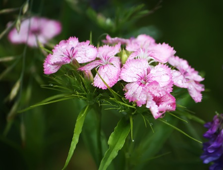 Pink garden carnations growing in garden. Stock Photo