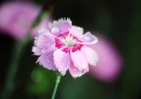 Pink garden carnations growing in garden. Stock Photo