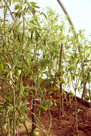 plantlet: Tomatoes growing in the greenhouse.