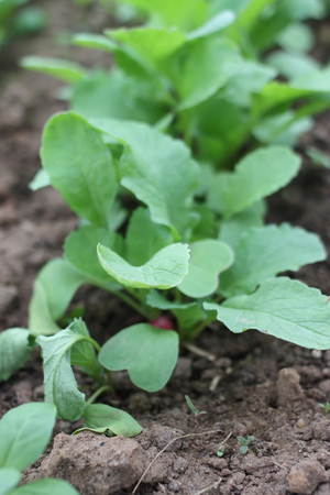 plantlet: Vegetables growing in the greenhouse.