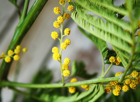 Mimosa yellow flowers and green leaves.