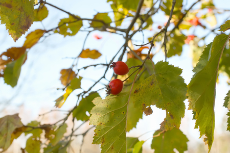 Ripe red berries of Crataegus laevigata plant. Midland hawthorn, mayflower fruits in the autumn park. Stock Photo