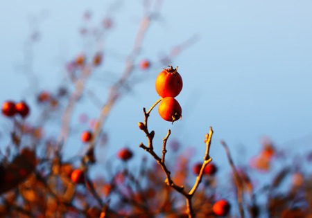 Ripe red berries of Crataegus laevigata plant. Midland hawthorn, mayflower fruits in the autumn park. Stock Photo
