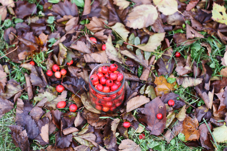 Ripe red berries of Crataegus laevigata plant. Midland hawthorn, mayflower fruits in glass jaron fall leaves background in the autumn park.