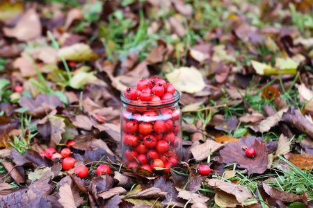 Ripe red berries of Crataegus laevigata plant. Midland hawthorn, mayflower fruits in glass jar on fall leaves background in the autumn park. Stock Photo
