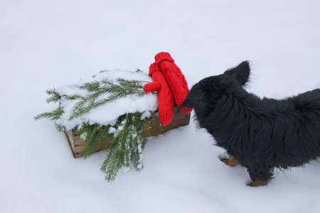 Curious black purebred dog sniffs red mittens and green spruce branches in wooden box on snow Stock Photo