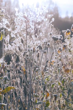 Dipsacus fullonum or teasel plants at sunrise in autumn park. Stock Photo
