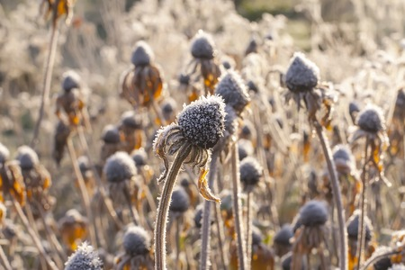 Black-eyed Susan or Rudbeckia hirta frozen flowers in autumn park at sunrise.