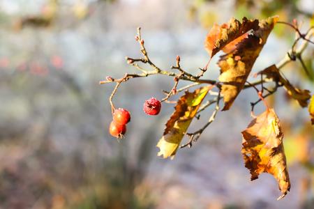 Midland hawthorn or Crataegus laevigata ripe red berries on tree branch in autumn park. Stock Photo