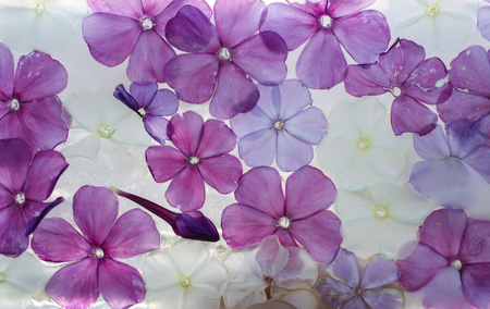 Ice cube with phlox flowers close up. Natural frozen floral background.