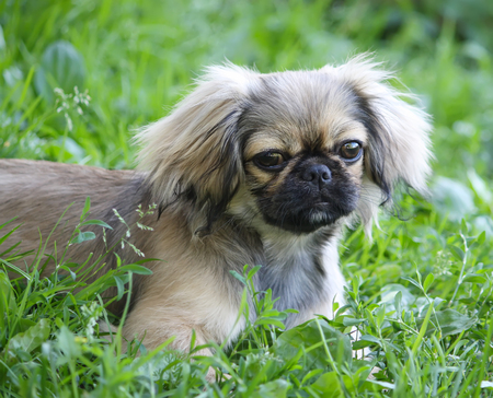 Young pekingese dog outdoors on green summer grass background.