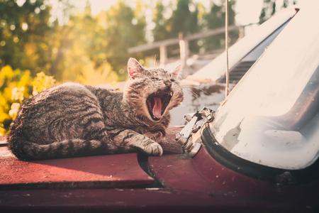 Sleepy cat yawning on an old car