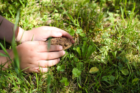 A child touching brown toad sitting on green summer grass in wild nature Фото со стока