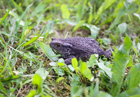European brown toad on green summer grass in wild nature
